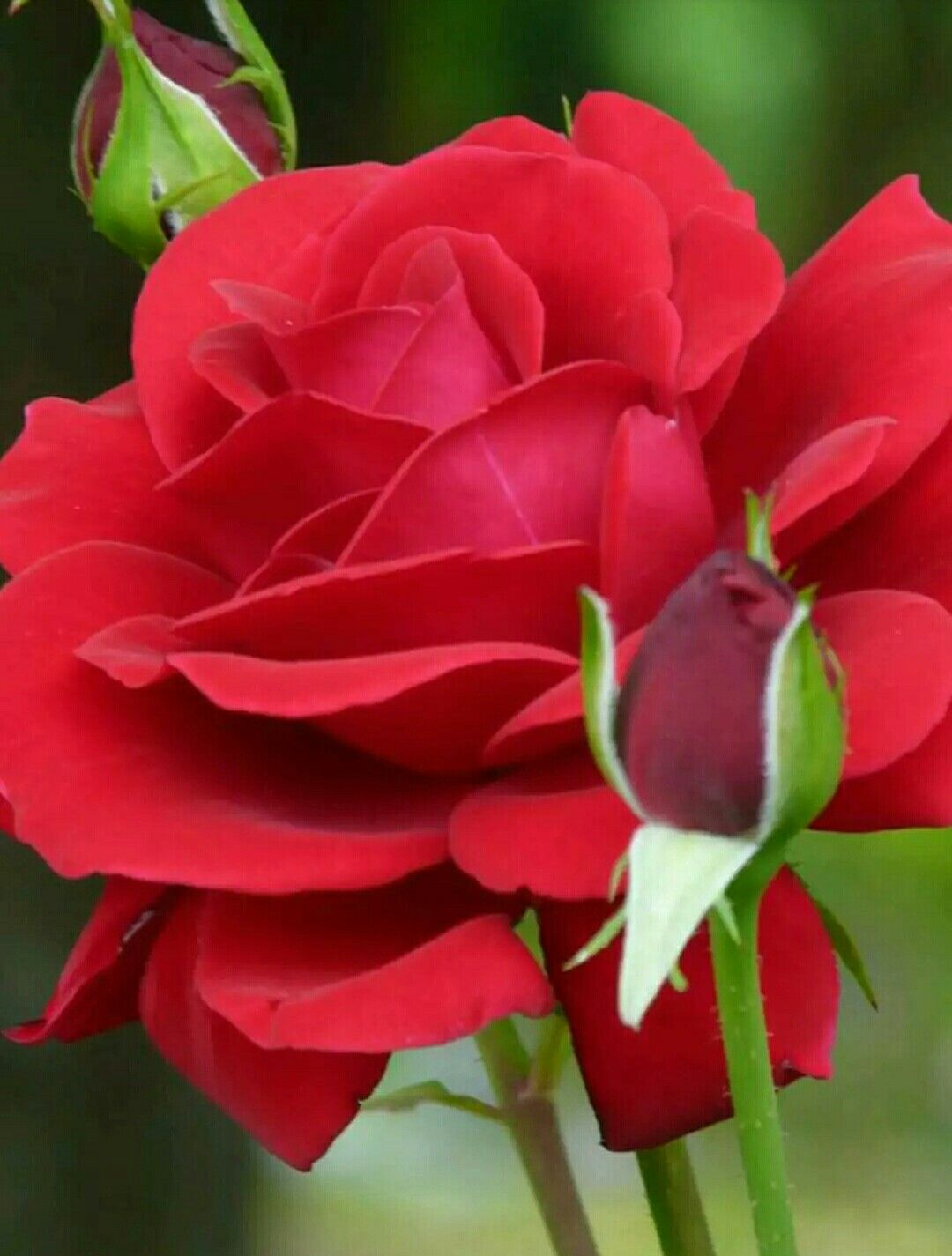A rose is a rose blossoms in 2018 pinterest beautiful a rose is a rose rose pictures love flowers flowers izmirmasajfo