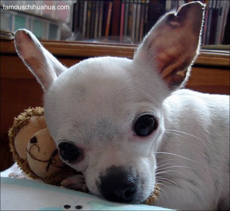 Sweet Angel Caramelo An Adorable Tiny Deerhead Chihuahua From