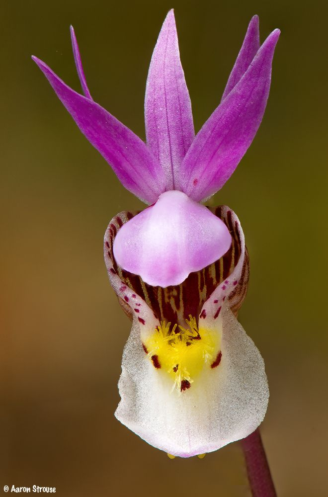 calypso, **calypso bulbosa var. americana** #37 | Wonderful flowers,  Beautiful orchids, Unusual flowers