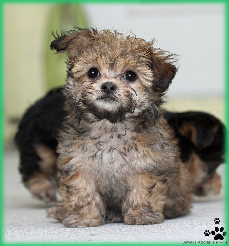 Available Mikis Miki puppies for sale, Always Adorable