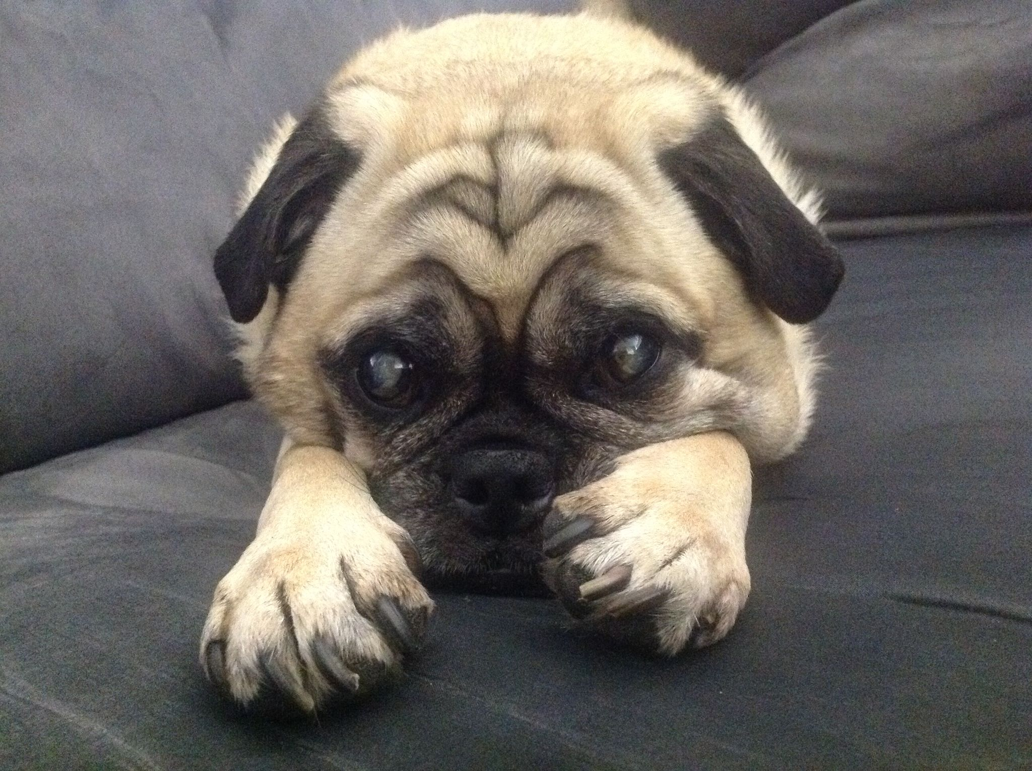 Cute Fawn Pug With Big Paws Pugs Fur Babies