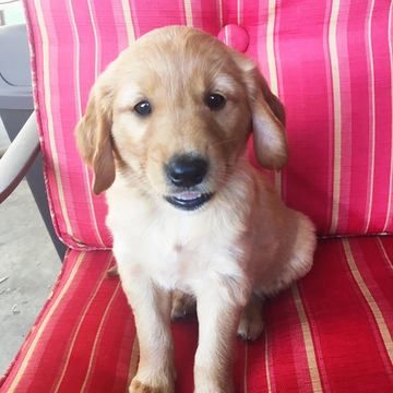 Golden Retriever Puppy For Sale In Fresno Ca Adn 42010 On