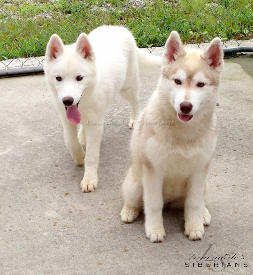 Siberian Huskies Tink Left Moleigh Right Two Bred By