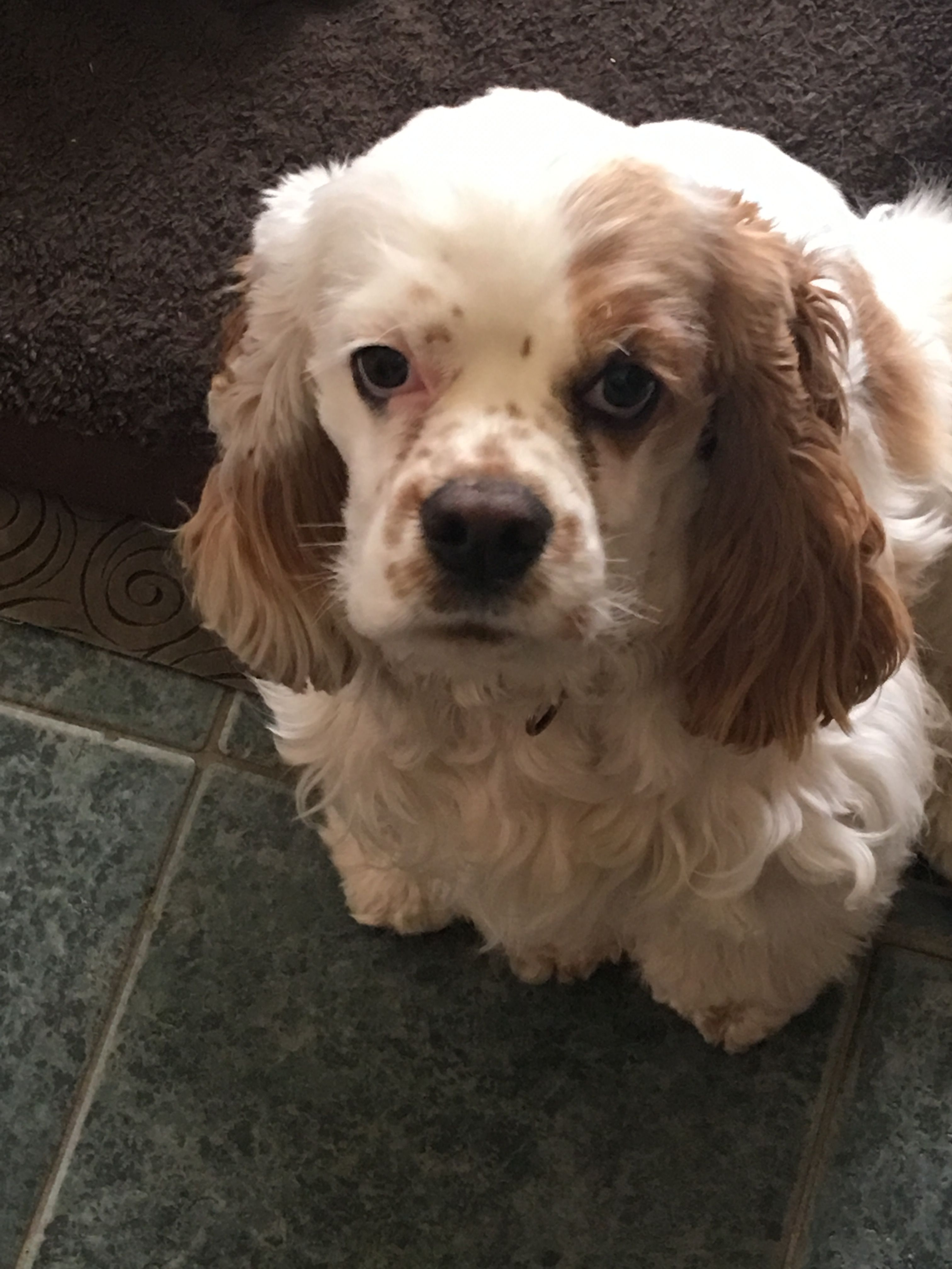 Pin By Becky Fletcher On My Boys Our Next Generation Dog Breath American Cocker Spaniel Little Pets