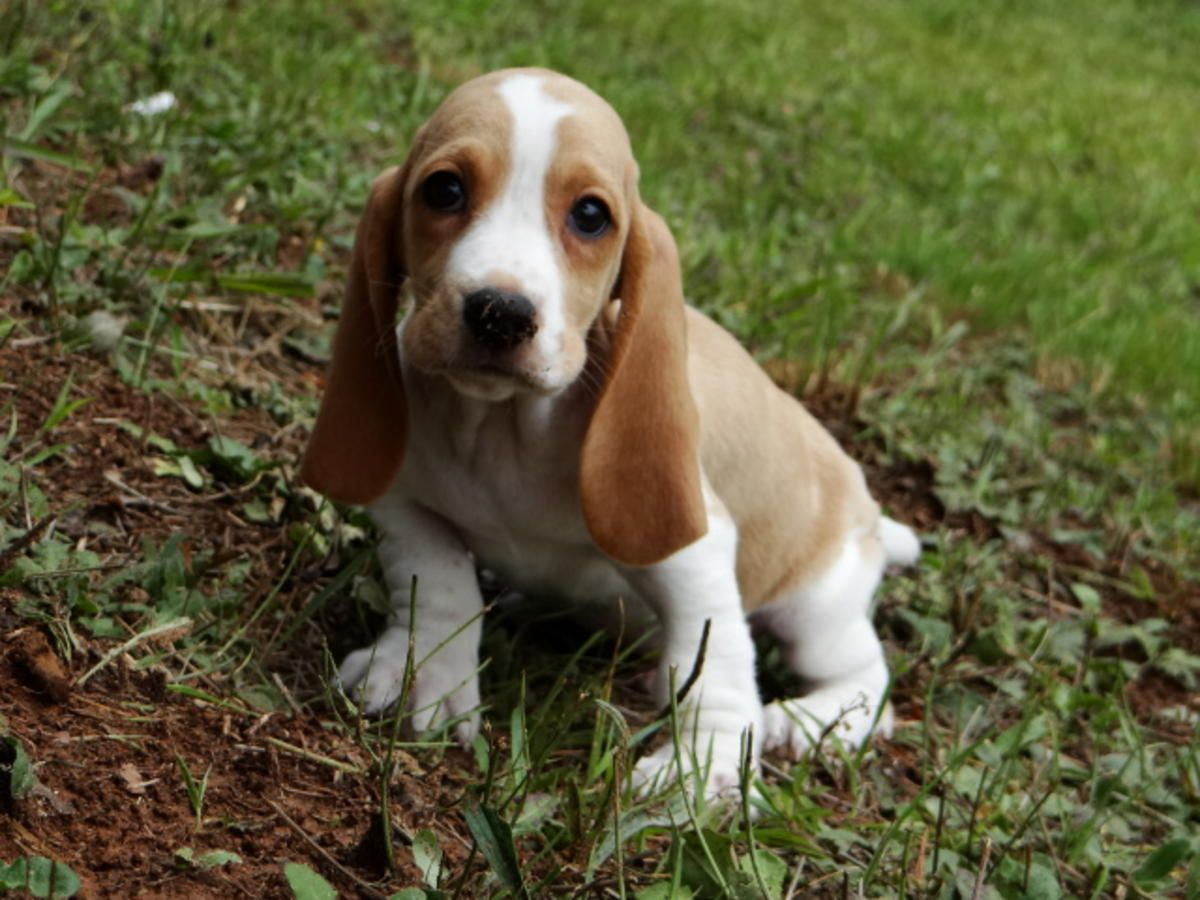 Basset Hounds Puppies For Sale In Lawrenceville Georgia Hoobly Classifieds Hound Puppies Basset Hound Puppy Puppies