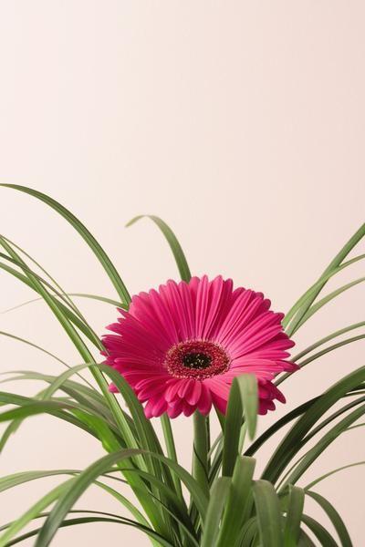 Pink Gerbera Daisy Ground Cover Types Of Soil Gerbera Daisy