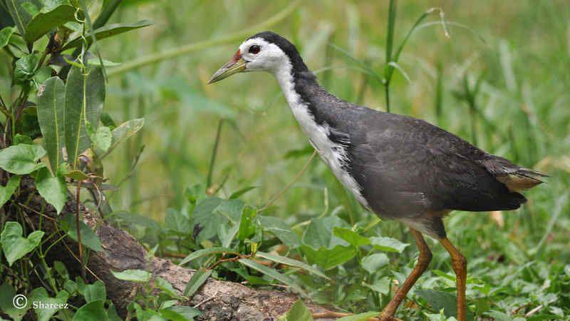 Download Suara Burung Ruak Ruak Pikat Mp3 Terbaru Binatang Suara Burung