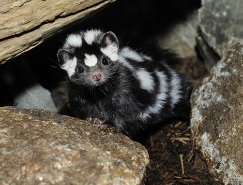 Civet Cat Skunk skunk and the much lesser known