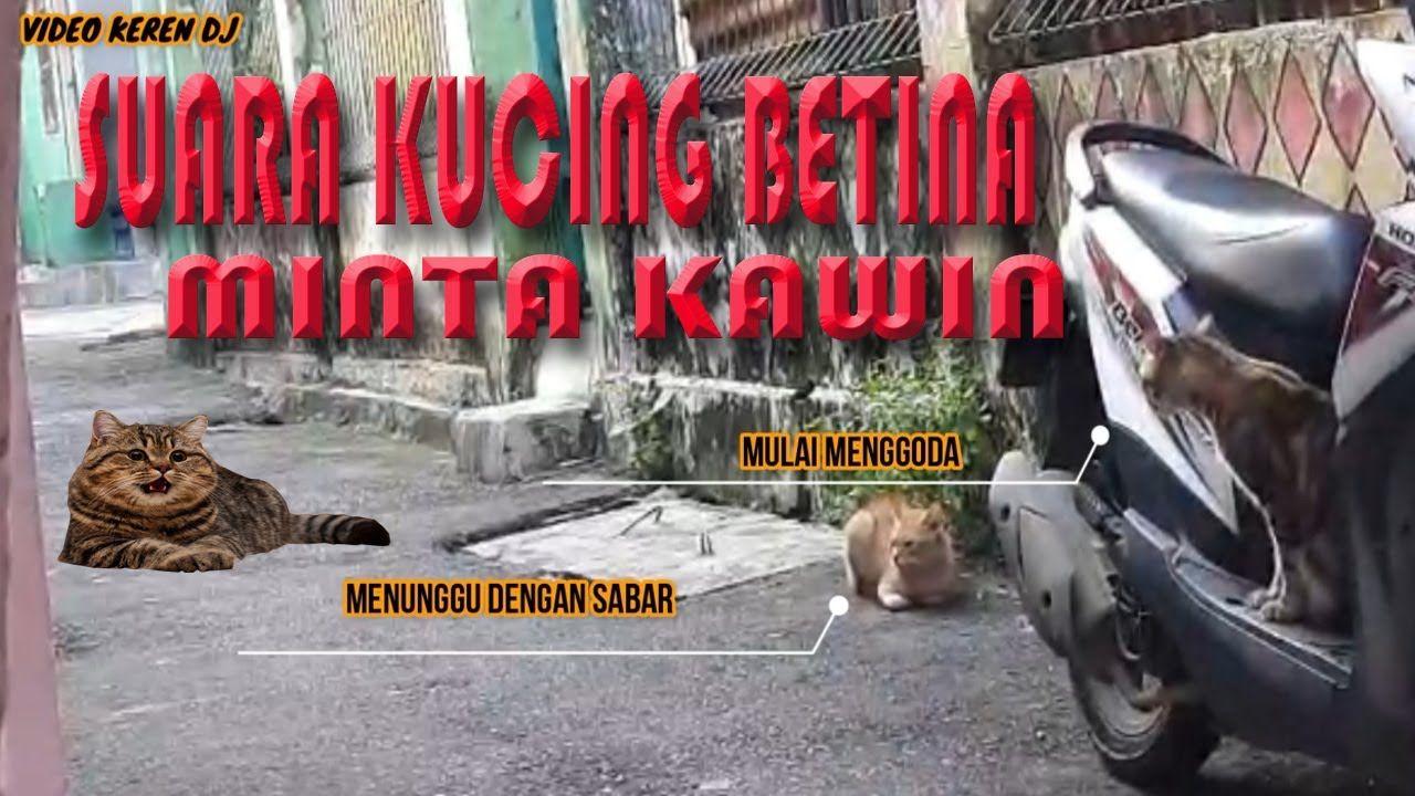Suara Kucing Betina Birahi Memanggil Kucing Jatan Minta Kawin Kucing Betina Betina Dj
