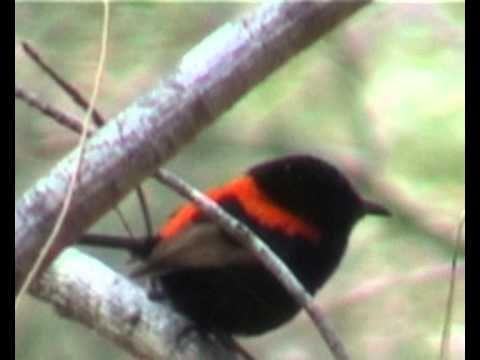 Red-backed Fairy-wren-Mon Repos Beach Bundaberg 2004 - YouTube