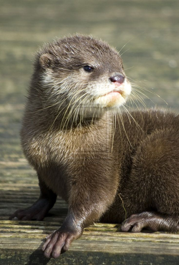 baby otter - cute by photographybypixie