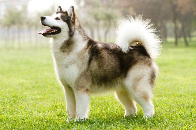 Alaskan Malamute Canadian Eskimo Dog Malamute Dog Dog Breeds