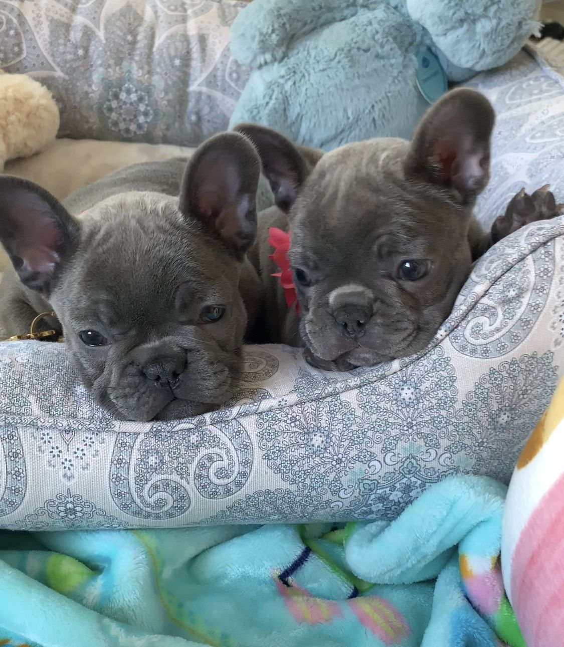 What S Better Than A Blue Frenchie Two Blue Frechies Sophie Bella Both Lookin French Bulldog Puppies French Bulldog Breeders Blue French Bulldog Puppies