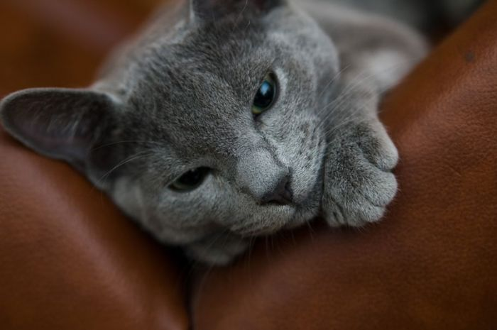 Russian Blue Cats Are One Of The Most Elegant And Distinguished Cats