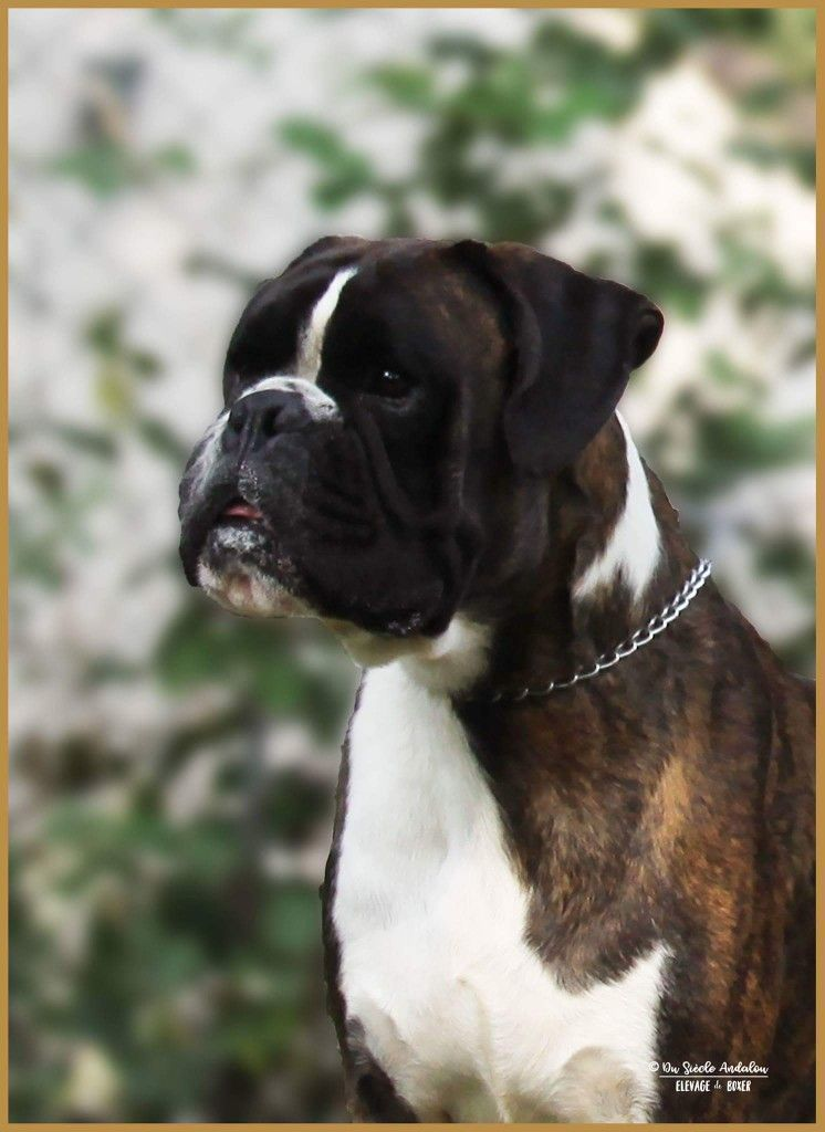 boxerdogfacts Boxer breed, Boxer dogs, Boxer dogs facts
