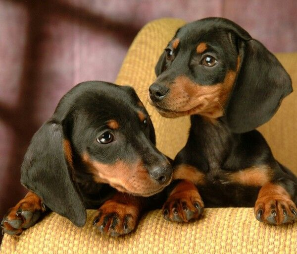 Cute Black Puppies Dachshund Puppy Miniature