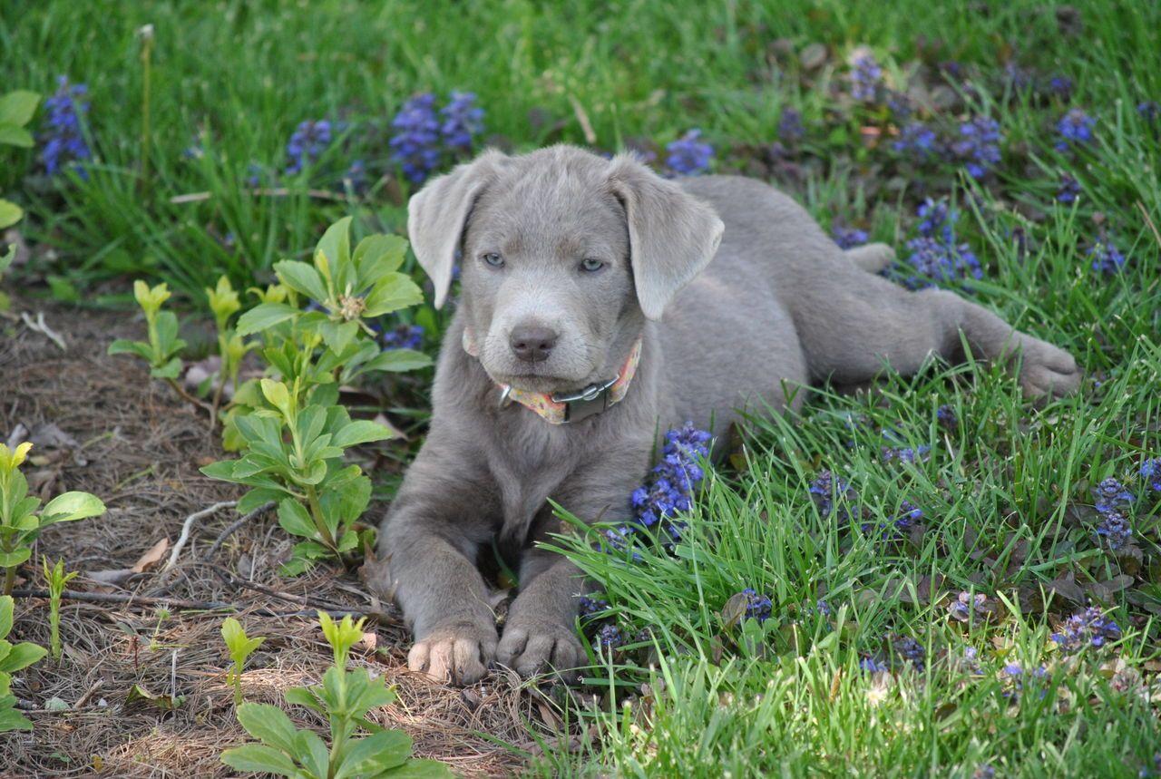 Silver Labrador Retrievers | Silver Mist Labradors | Labrador