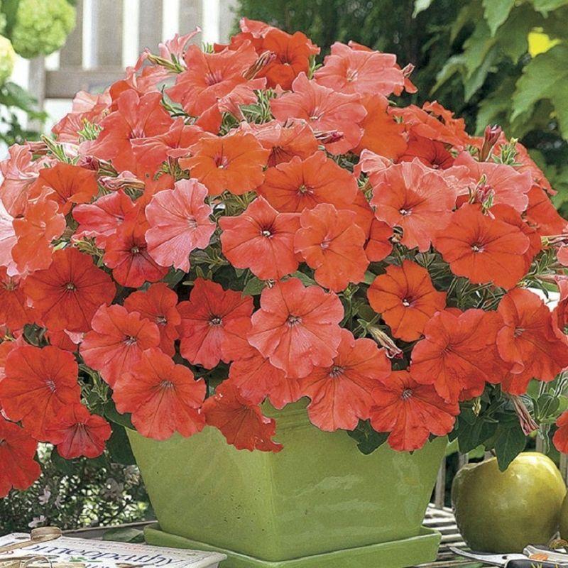 African Sunset Beautiful Orange Petunia Seeds New Aas Winner Semillas De Flores Flores Raras Petunias