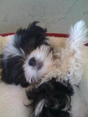 Black And White Malshi Black And White Black Puppies