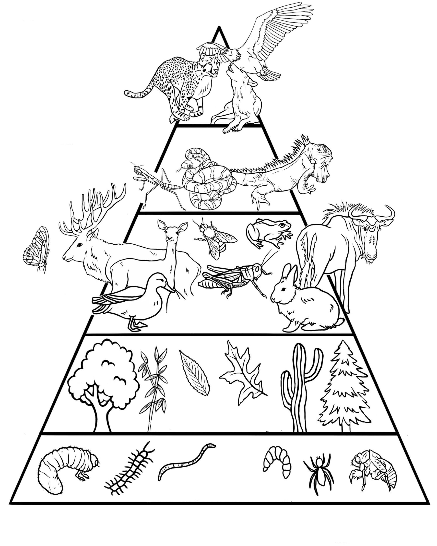 Taplalkozasi Lanc Piramis