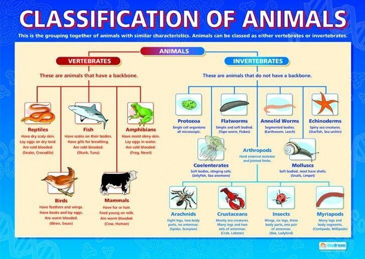 Diagram of animal classification vertebrate and invertebrate also rh pinterest
