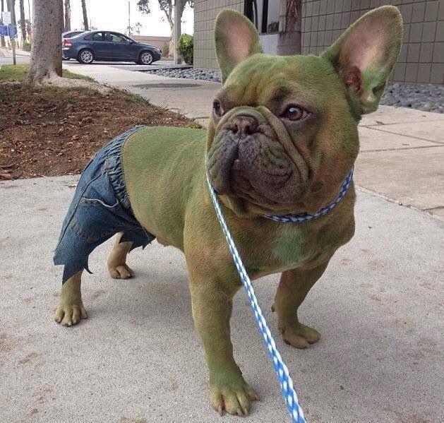 Hulk Dog French Bulldog Halloween Costumes French Bulldog