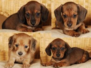 Cute Weiner Dogs Minature Dachshunds Akc Registered Atlanta