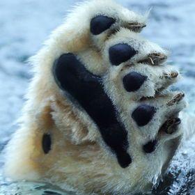 Polar Bear Paw Polar Bear Paw Bear Paws Polar Bear