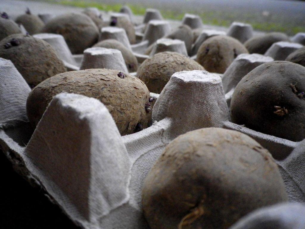 comment et quand faire germer des pommes de terre jardinage bio pinterest plantation pomme. Black Bedroom Furniture Sets. Home Design Ideas