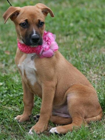 Destiny Black Mouth Cur Mix Young Female Medium Humane