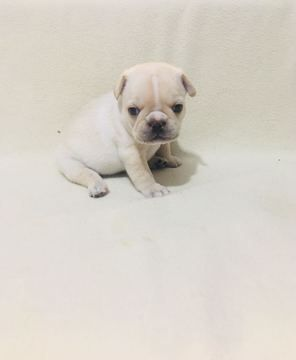 French Bulldog Puppy For Sale In Revere Ma Adn 67848 On