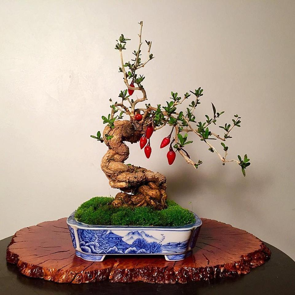 Found A High Quality Chili Bonsai This Is Me Eating My Words Imgur Bonsai Fruit Tree Bonsai Mame Bonsai