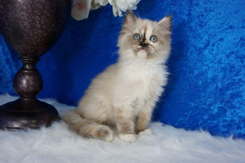 Seal Tortie Mitted Ragdoll Kitten Teacup Kitten Ragdoll Kitten Munchkin Kitten
