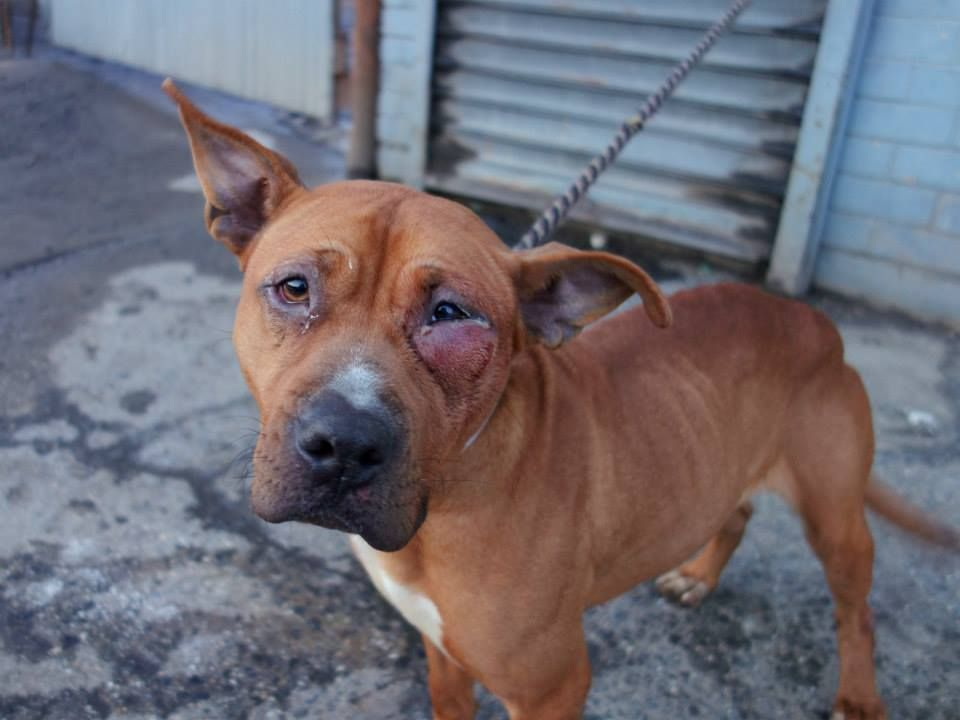 SAFE - SUPER URGENT 2/15/14  Brooklyn Center    BROWNIE - A0991649   FEMALE, RED, PIT BULL MIX, 4 yrs Super friendly and social- leans on people for attention with all her weight in your hands until she falls over; smiles and licks while trying to climb into handler's lap; body completely loose, lots of tail wagging. Putting head in handler's hands so she can get her chin…