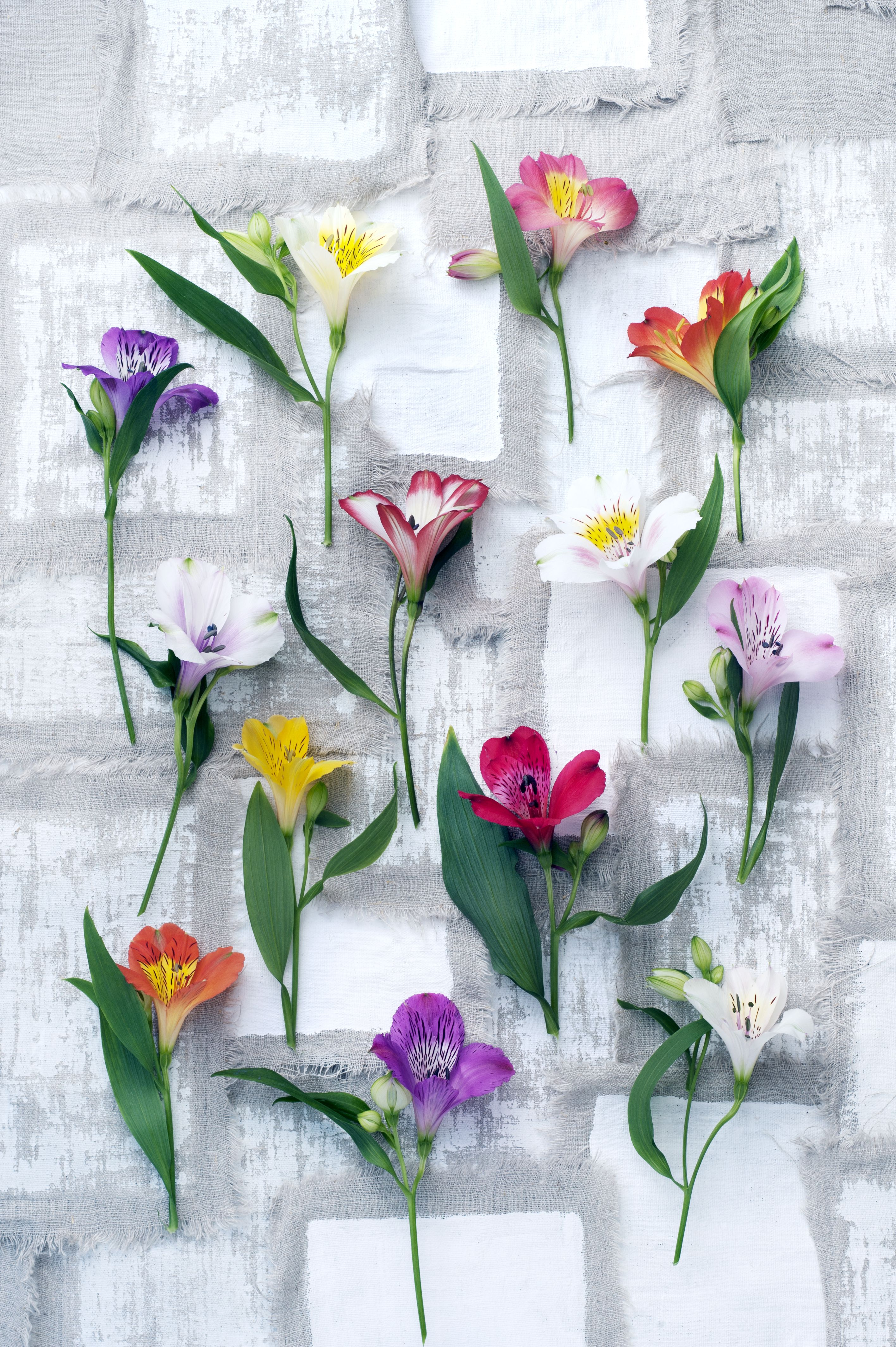 Twisted Foliage And Beautiful Brightly Coloured Flowers Those Are The Characteristics Of The Alstroemeria It Symbolised Friendship And Th Flowers Peruvian Lilies Spring Flowers