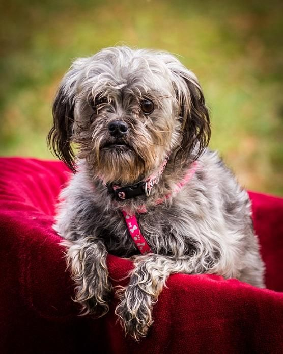 Adopt Giada On Poodle Mix Dogs Dogs Shih Tzu Poodle Mix