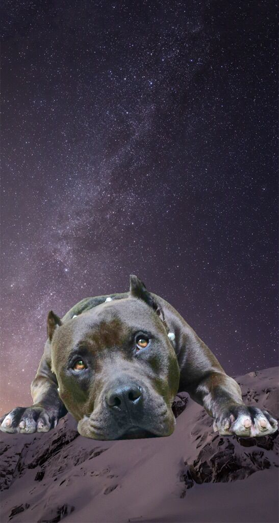 Pitbull Wallpaper, Bred Pit, Pitbull Pictures, Beautiful