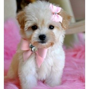 Cute White Teacup Puppies