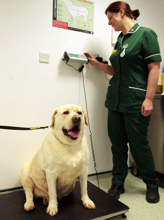 Cachorro comilão é submetido a programa rigoroso de perda de peso na Inglaterra http://farofinopet.blogspot.com.br/2013/01/cachorro-comilao-e-submetido-programa.html