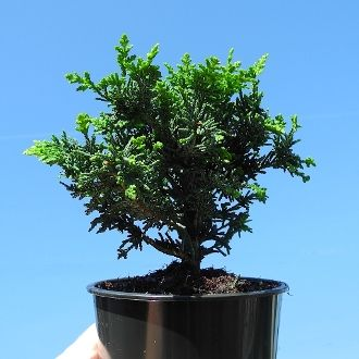 Compact Fernspray Cypress – Chamaecyparis obtusa 'Filicoides Compacta'