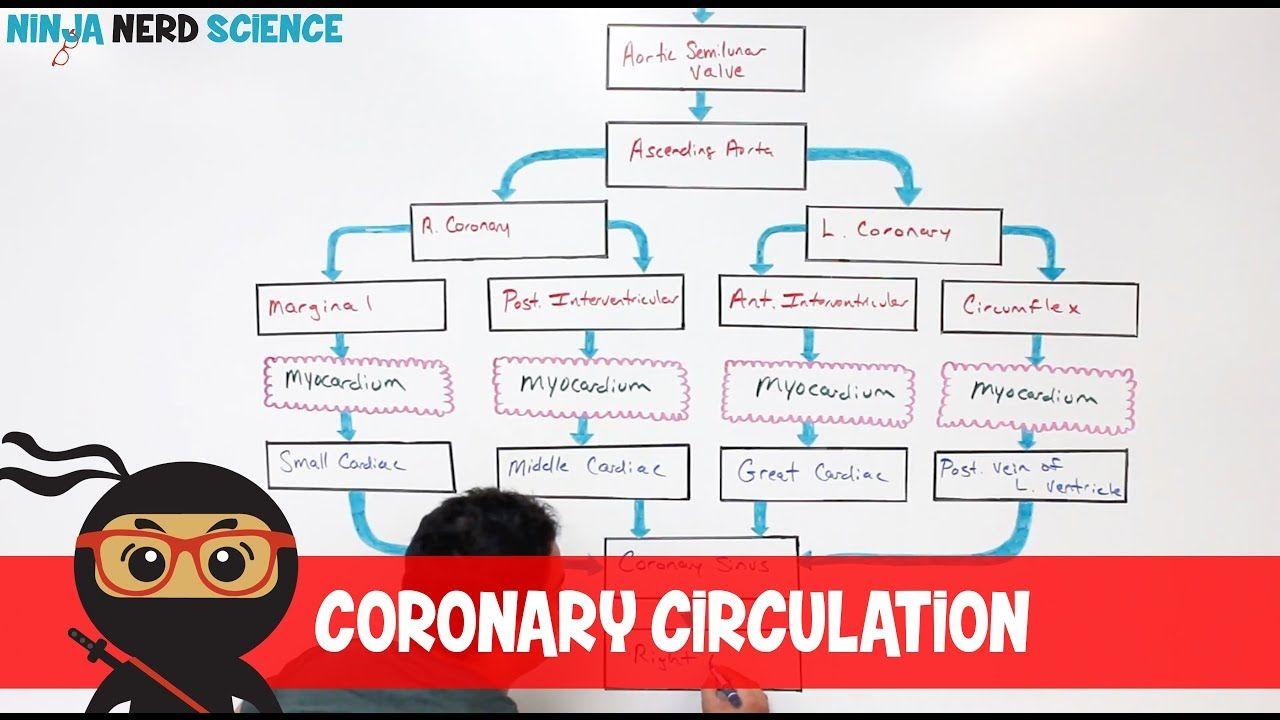 Circulatory System | Coronary Circulation - YouTube in ...