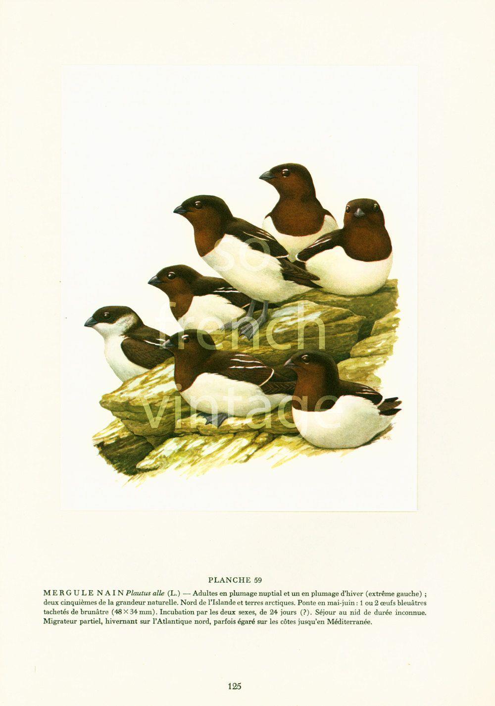 1961 Vintage Little Auk print, Seabird illustration, Dovekie wall ...