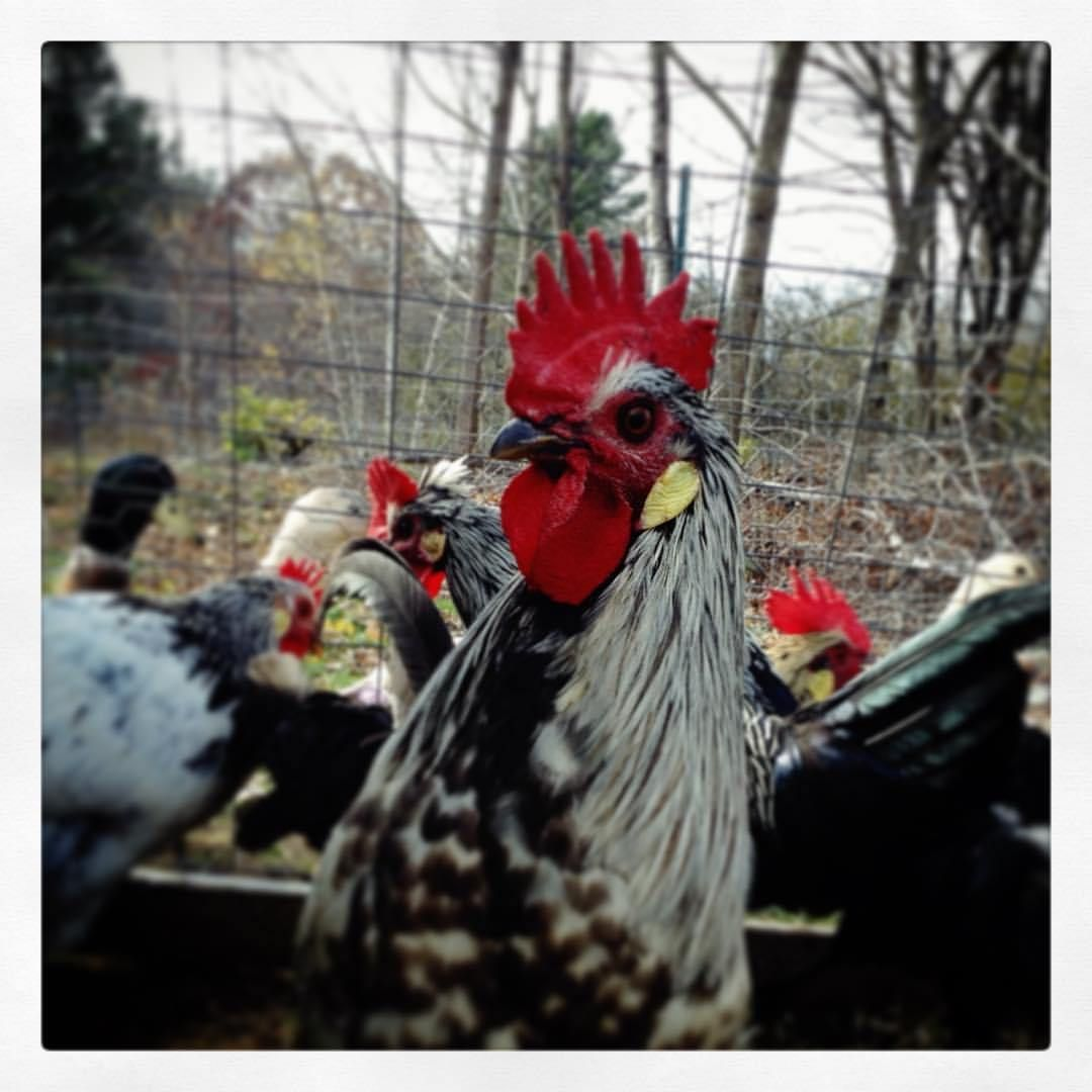 Choosing the best rooster for your flock rooster