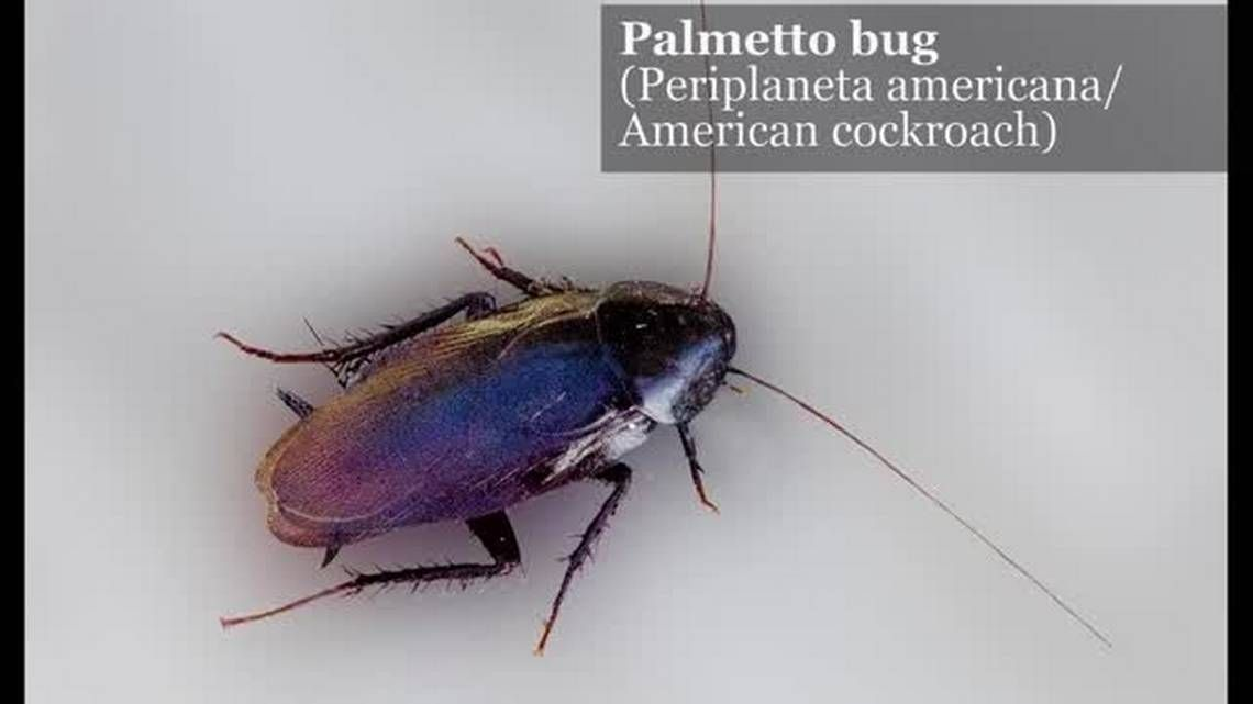 Ew 7 things you need to know about palmetto bugs most
