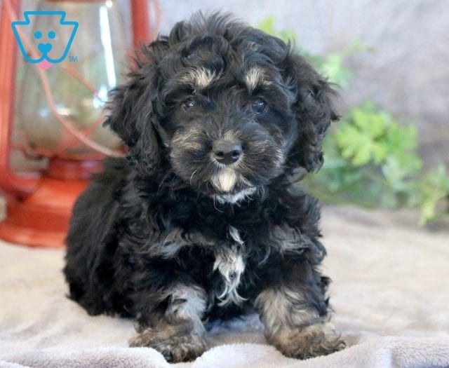 Cockapoo Puppies For Sale Puppy Adoption Keystone