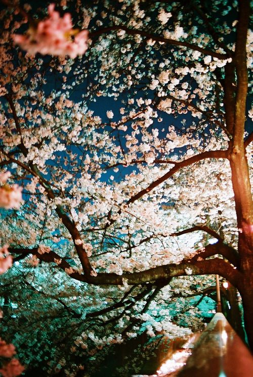 桜 Sakura cherry blossom