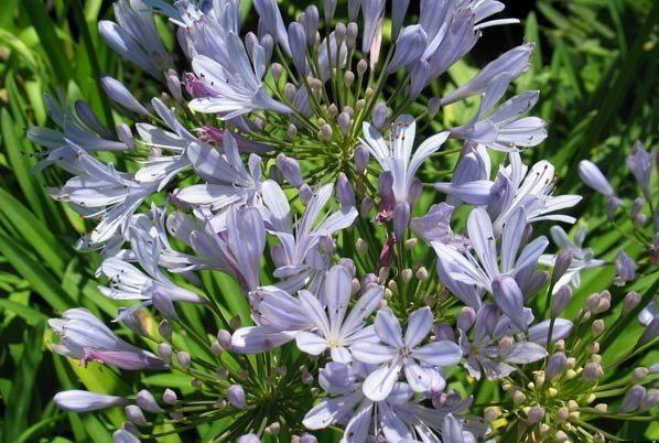 New Agapanthus Barley Blue Light Blue Flowers Garden Plant Planten Tuin Ebay