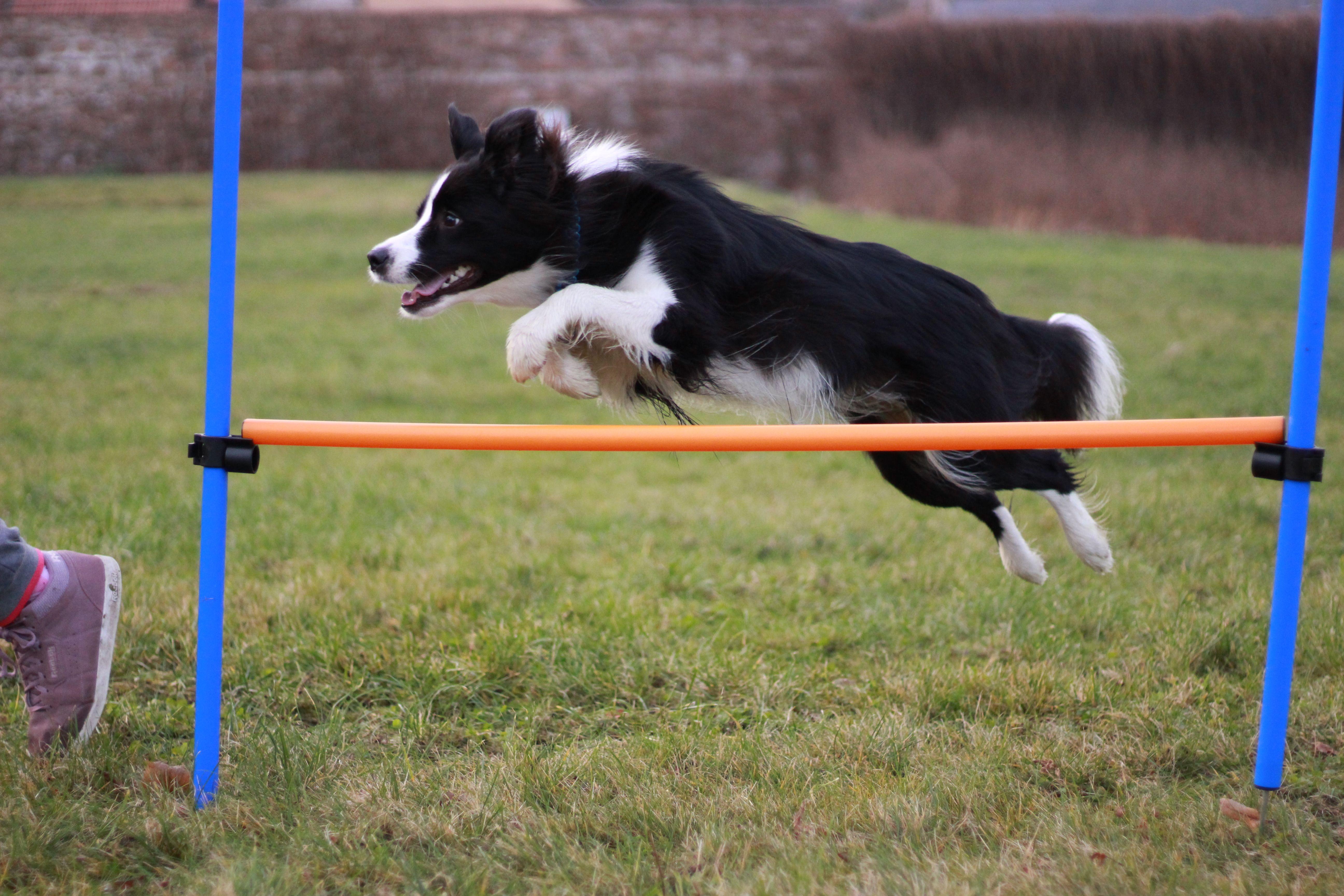 Amythebordercollie Jumping Border Collie Agility