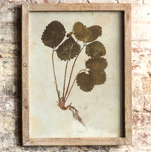 """Vintage Framed Botanical Print 96.00  Inspired by 18th century botanical studies, each piece features a classic rustic wooden frame and glass front.  Perfect in a traditional, cottage, or farm style home.  Dimensions:(16.5"""" x 21.25"""" x .75"""")."""