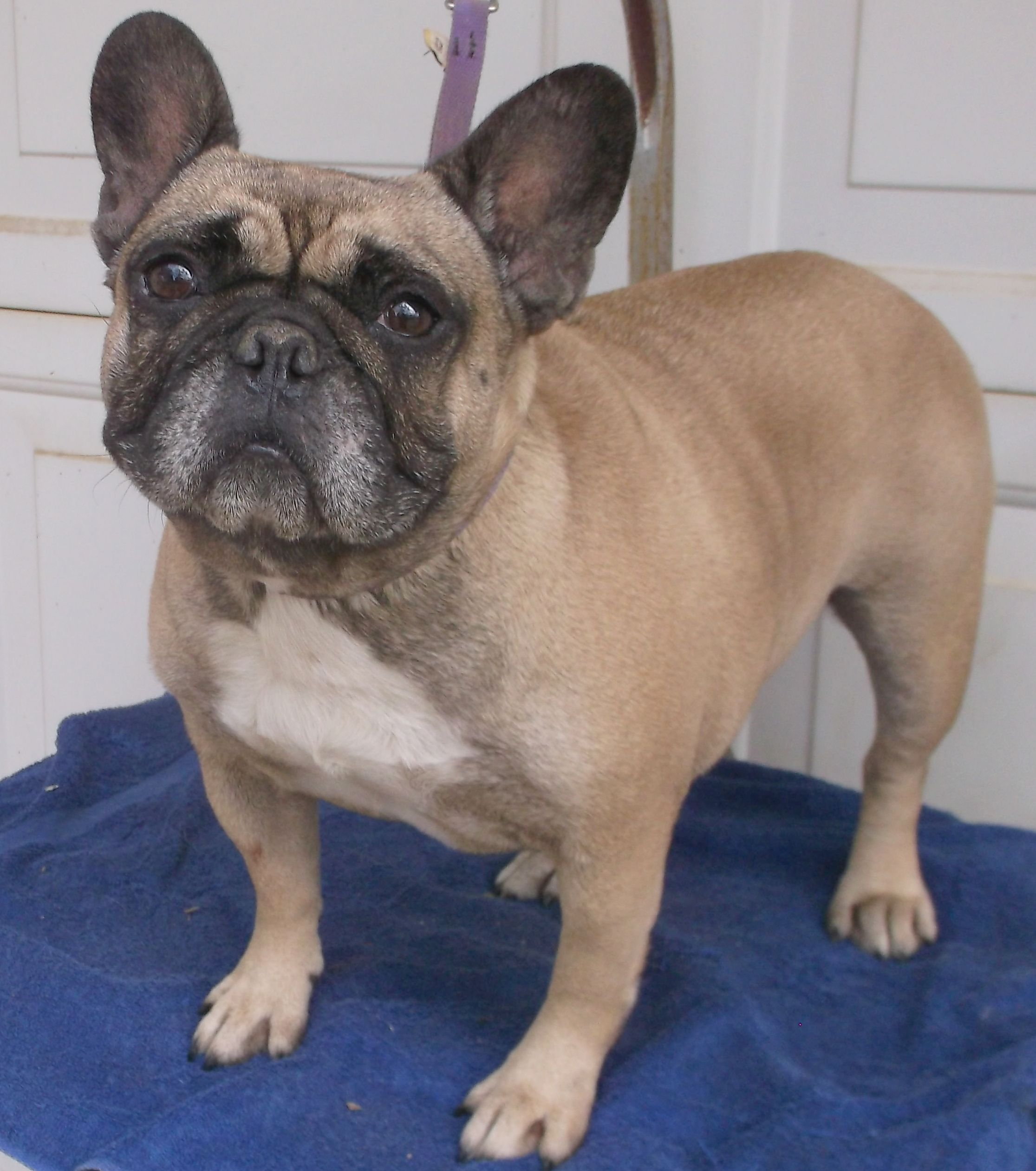 French Bulldog dog for Adoption in Birch Tree, MO. ADN